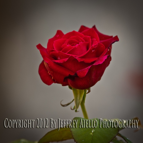 Solo Red Rose