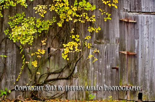 Fall Vine on Barn